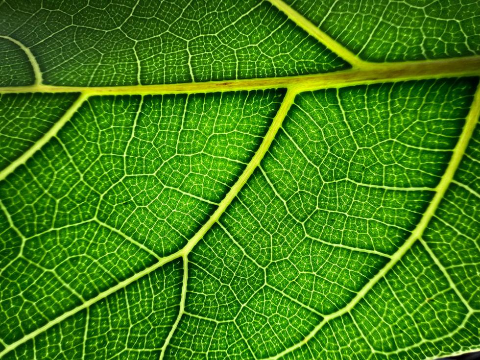 使用 iPhone 13 Pro 超广角镜头以微距模式拍摄的叶子。