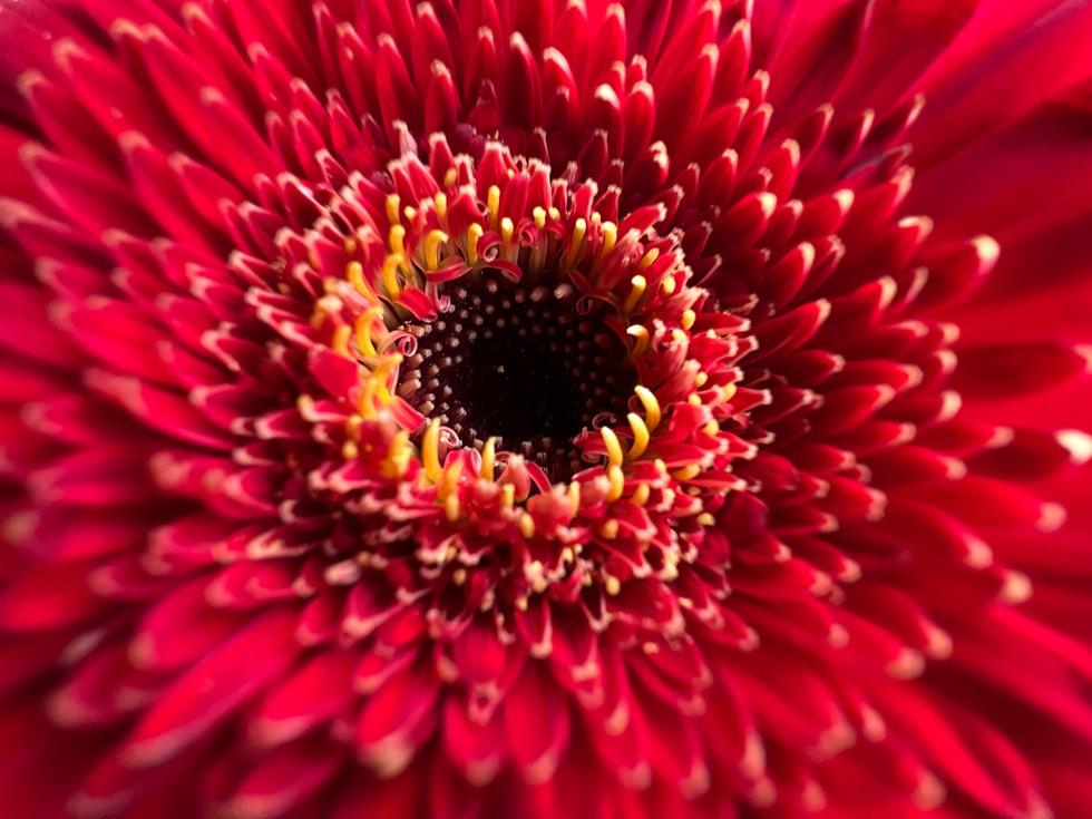 使用 iPhone 13 Pro 超广角镜头以微距模式拍摄的红花。