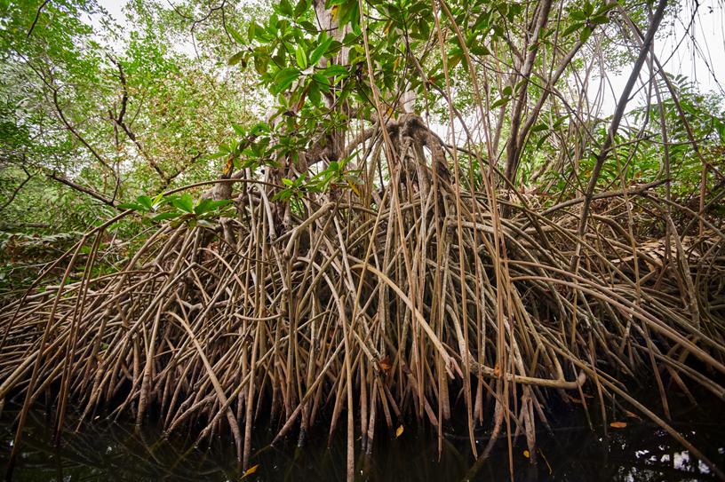 红树林能够在咸水环境中茁壮成长。
