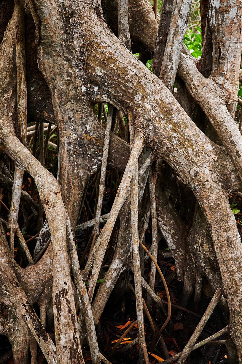 红树林的根系。