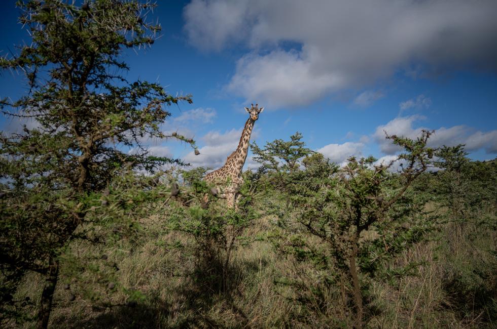 肯尼亚热带稀树草原上的长颈鹿。