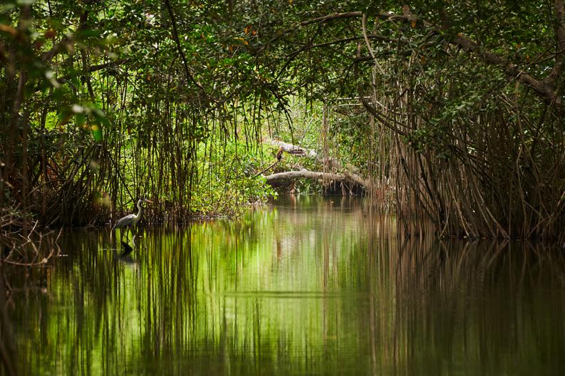 哥伦比亚加勒比海岸上 Cispatá 海湾的红树林。